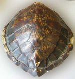 turtleshell.jpg